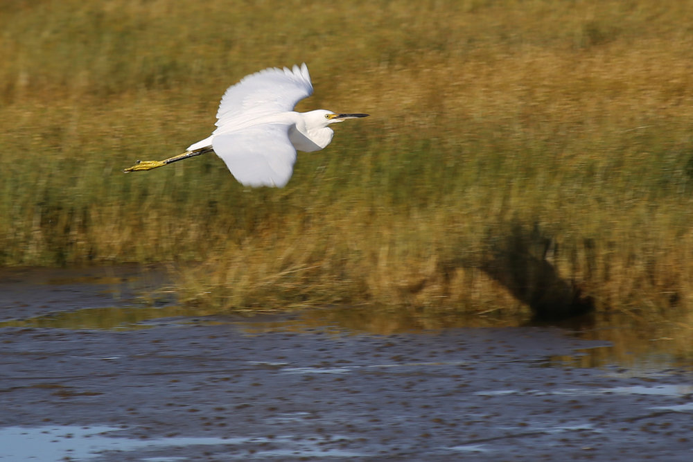 Snowy Egret / 4 Aug / BacK Bay NWR