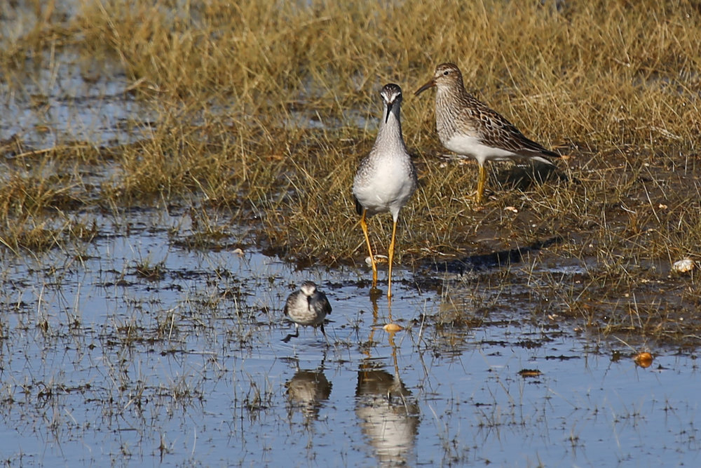 Semipalmated Sandpiper, Lesser Yellowlegs & Pectoral Sandpiper / 4 Aug / BacK Bay NWR