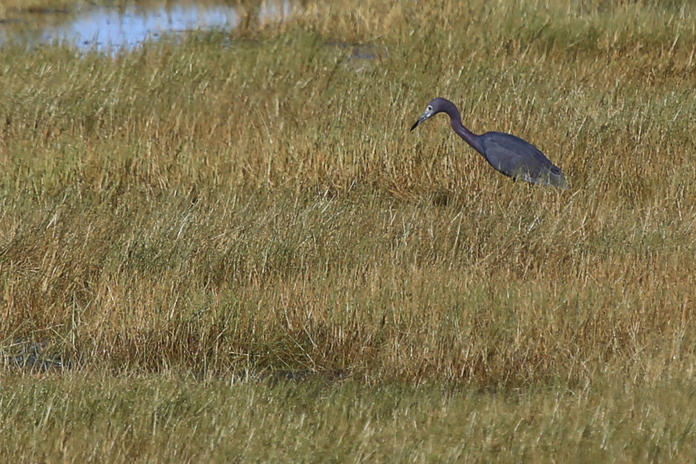 Little Blue Heron / 4 Aug / BacK Bay NWR