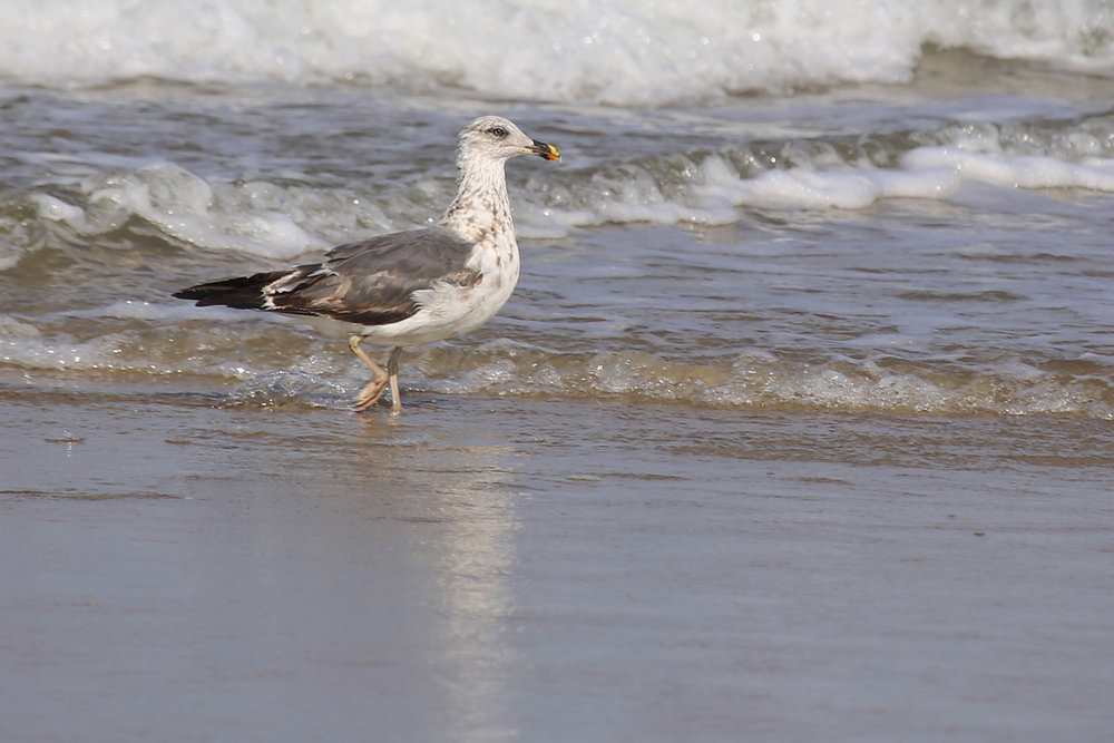 Lesser Black-backed Gull / 9 Aug / BacK Bay NWR