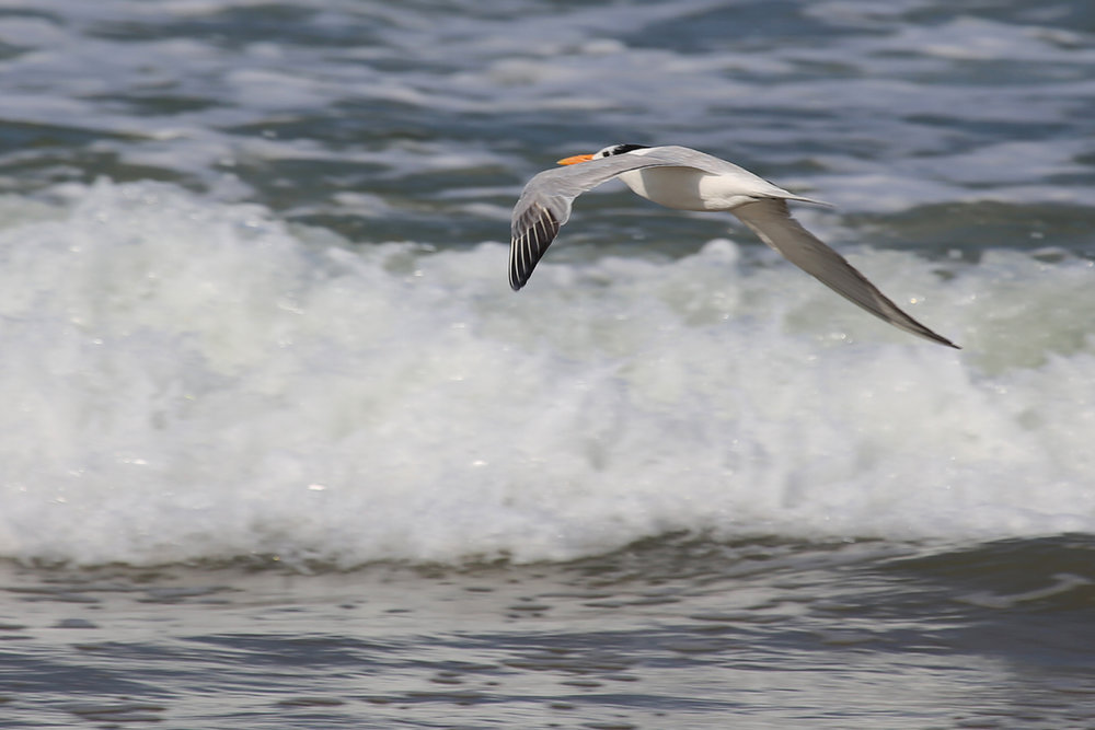 Royal Tern / 9 Aug / BacK Bay NWR
