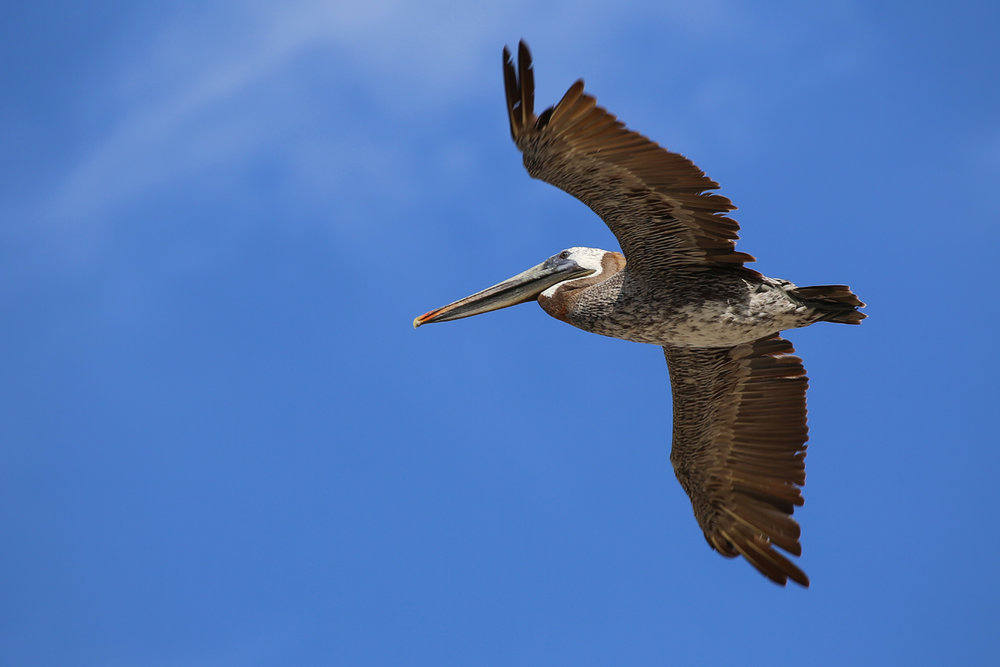 Brown Pelican / 9 Aug / BacK Bay NWR