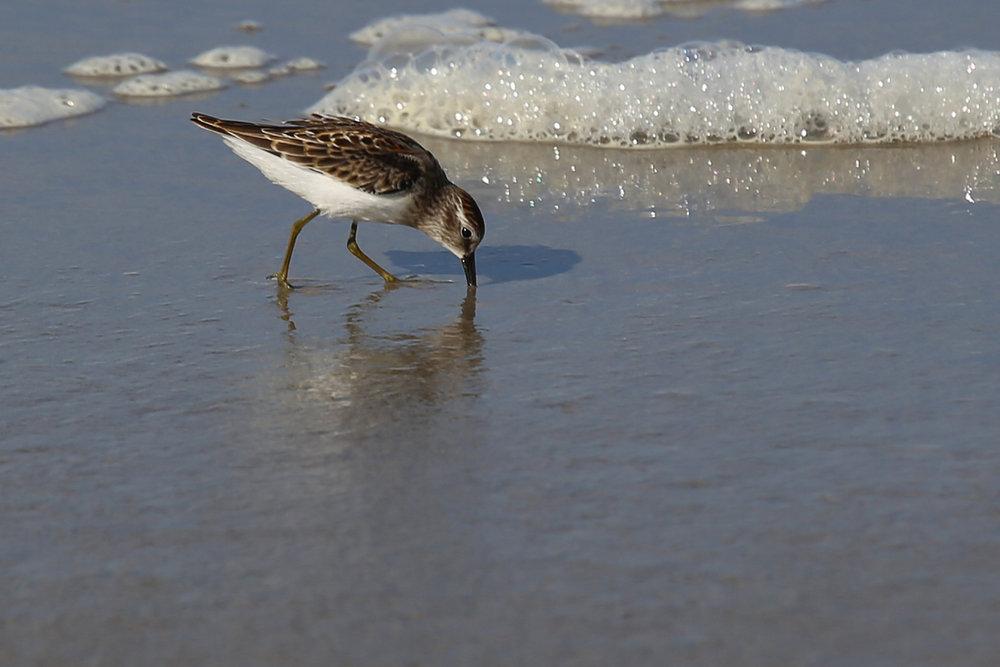 Least Sandpiper / 9 Aug / BacK Bay NWR