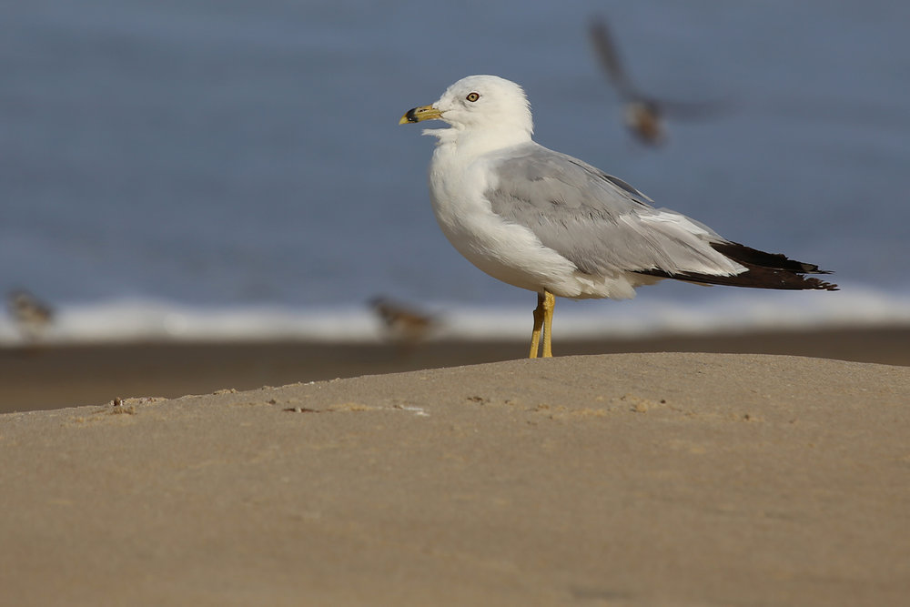 Ring-billed Gull / 9 Aug / BacK Bay NWR