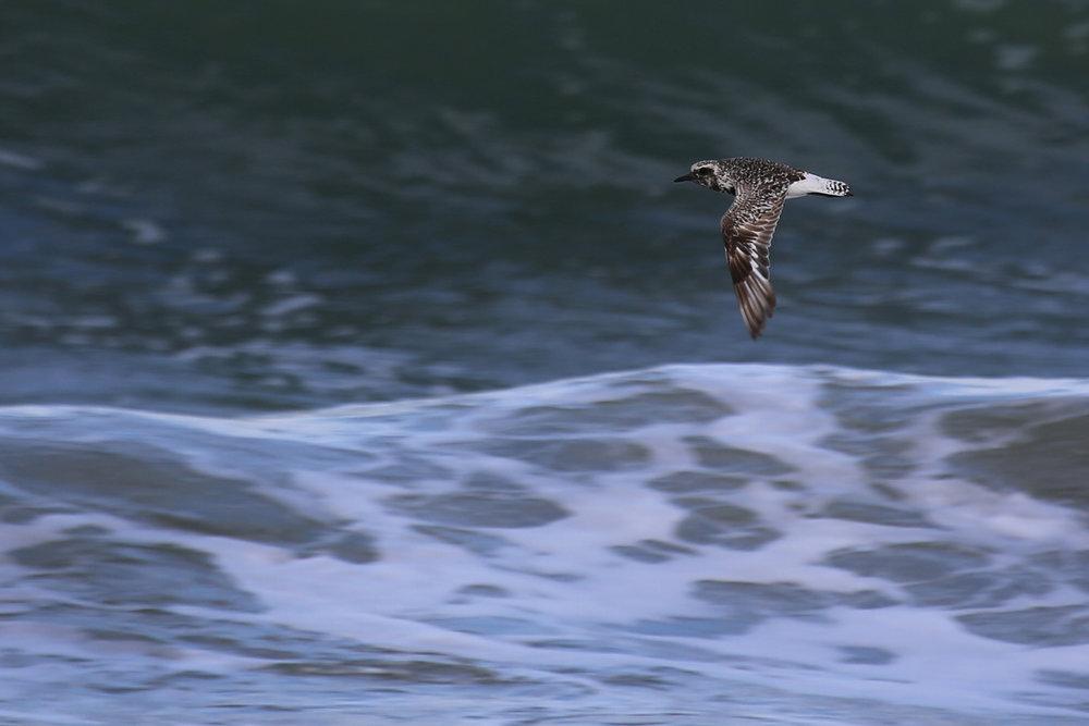 Black-bellied Plover / 9 Aug / BacK Bay NWR