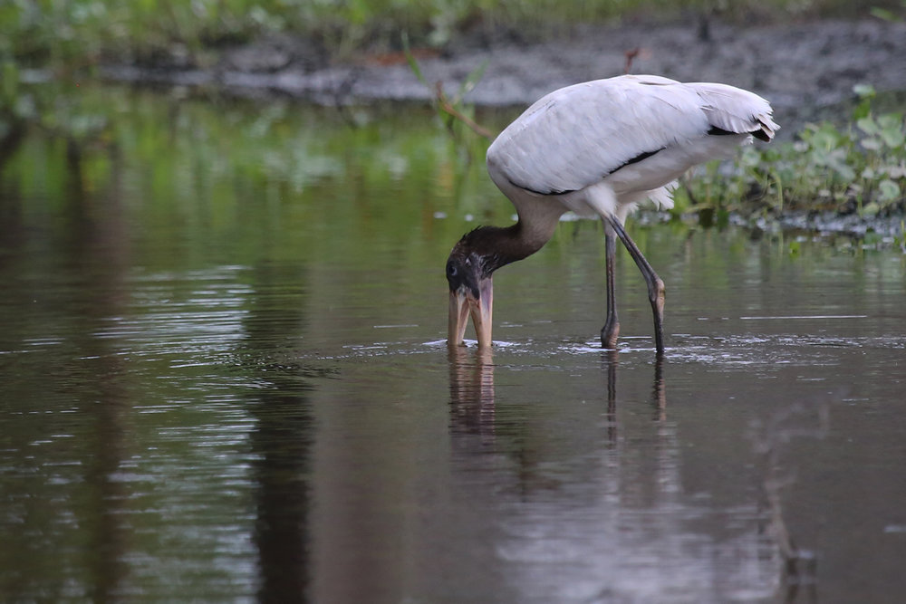 Wood Stork / 9 Aug / Pleasant Ridge Rd.