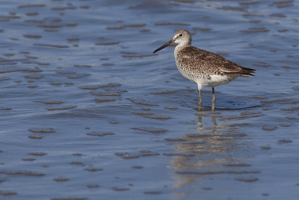 Willet / 10 Aug / Back Bay NWR