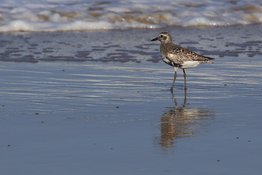 Black-bellied Plover / 10 Aug / Back Bay NWR