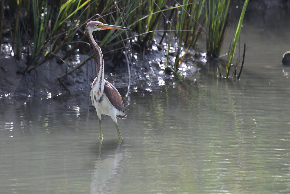 Tricolored Heron / 11 Aug / Pleasure House Point NA