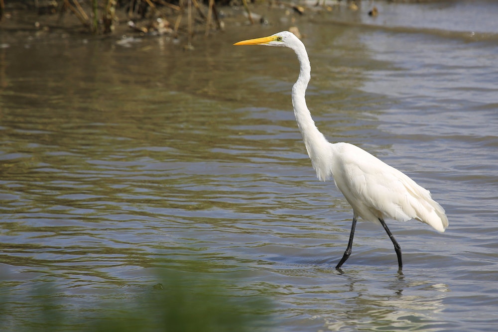 Great Egret / 11 Aug / Pleasure House Point NA