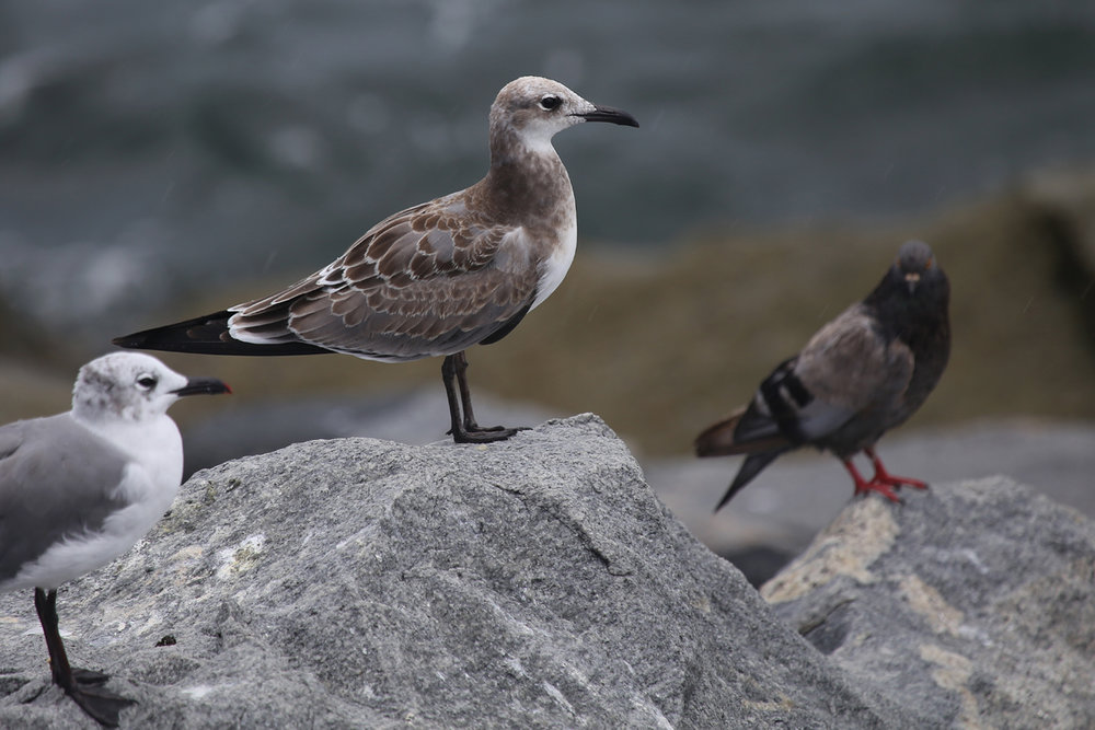 Laughing Gulls & Rock Pigeon / 12 Aug / South Thimble Island