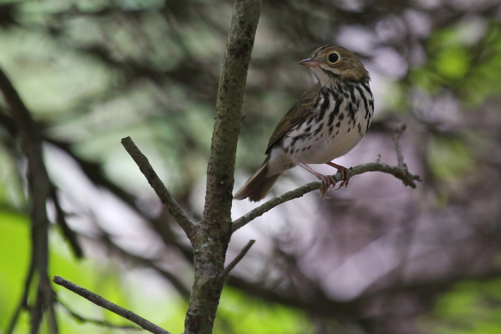 Ovenbird / 13 Aug / Back Bay NWR