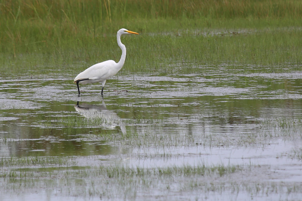 Great Egret / 13 Aug / Back Bay NWR