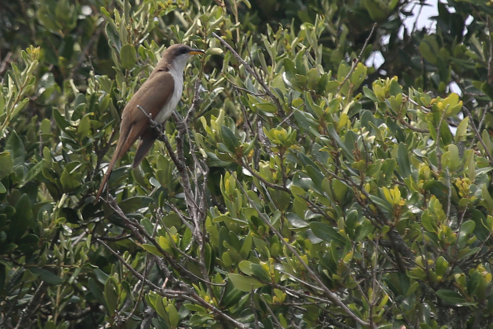 Yellow-billed Cuckoo / 13 Aug / Back Bay NWR