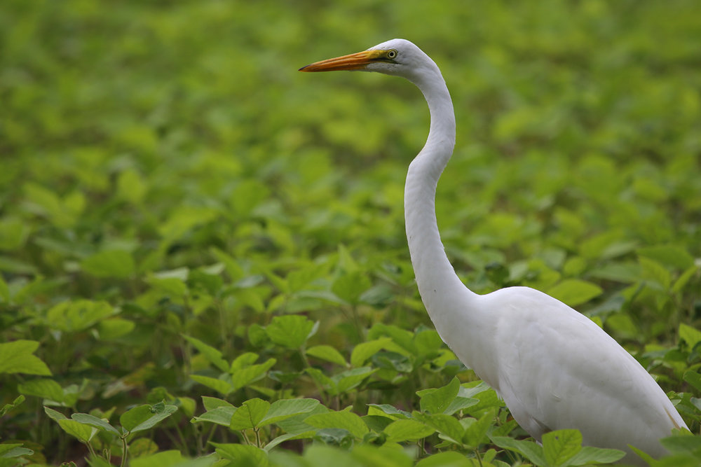 Great Egret / 13 Aug / Muddy Creek Rd.
