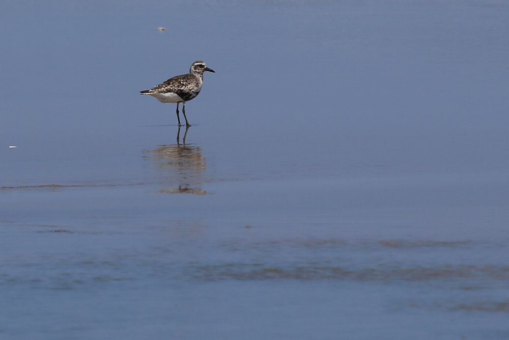 Black-bellied Plover / 19 Aug / Back Bay NWR