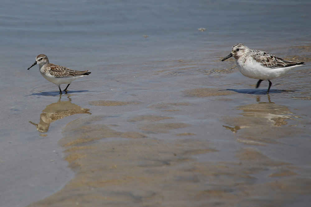 Western Sandpiper & Sanderling / 19 Aug / Back Bay NWR