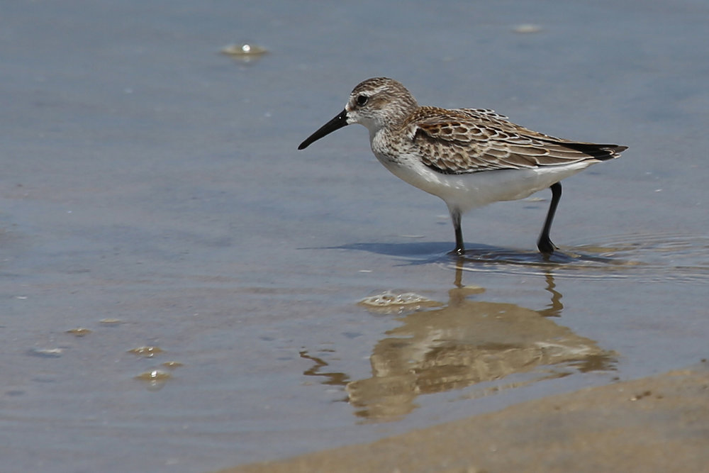 Western Sandpiper / 19 Aug / Back Bay NWR