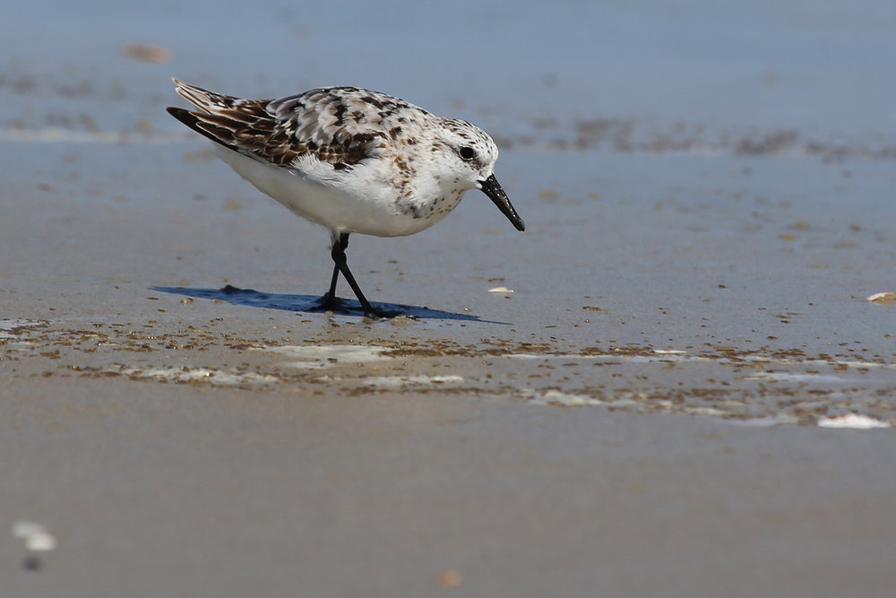 Sanderling / 19 Aug / Back Bay NWR