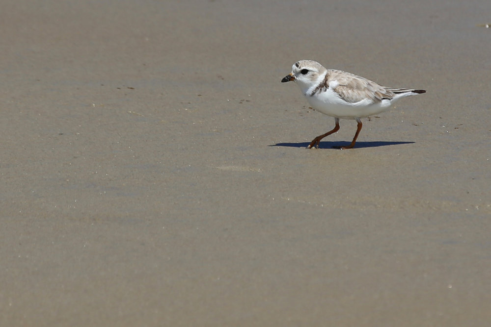 Piping Plover / 19 Aug / Back Bay NWR