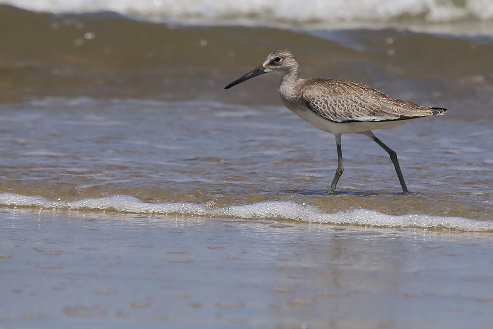 Willet / 19 Aug / Back Bay NWR