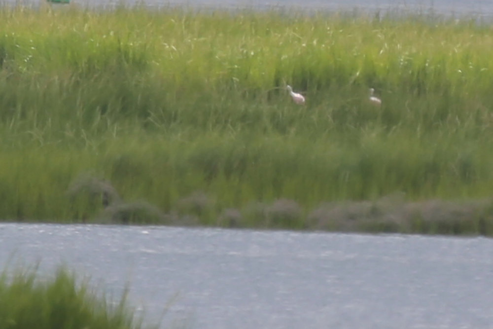 Roseate Spoonbills / 25 Aug / Pleasure House Point NA