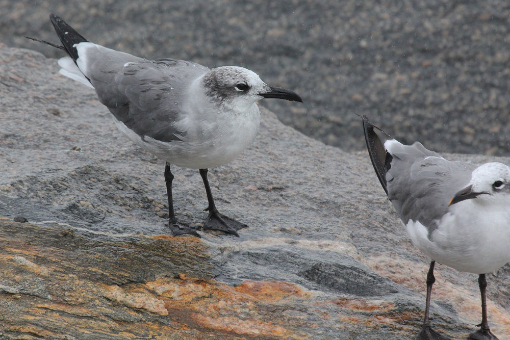 Laughing Gulls / 29 Aug / South Thimble Island