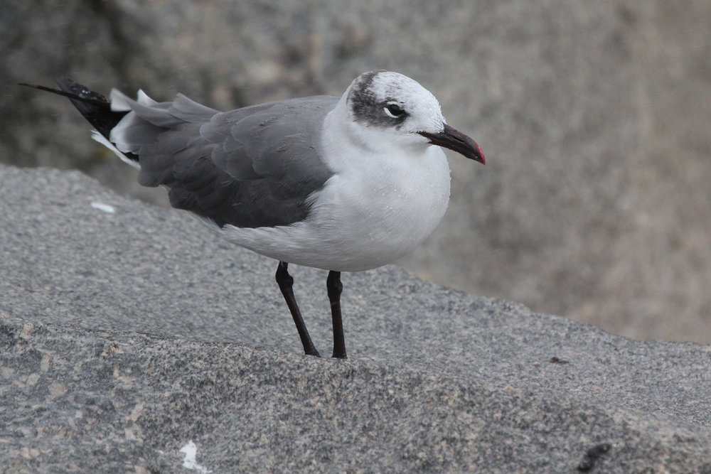 Laughing Gull / 29 Aug / South Thimble Island