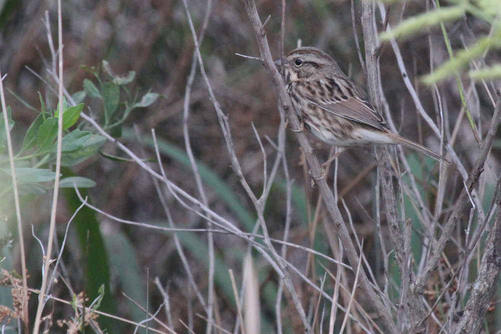 Song Sparrow / 1 Oct / Pleasure House Point NA