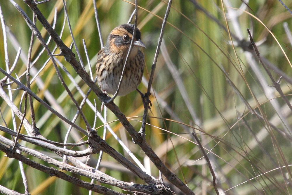 Saltmarsh Sparrow / 1 Oct / Pleasure House Point NA