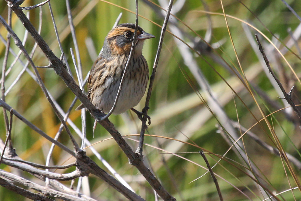 Saltmarsh Sparrow / 1 Oct / Pleasure House Point NA