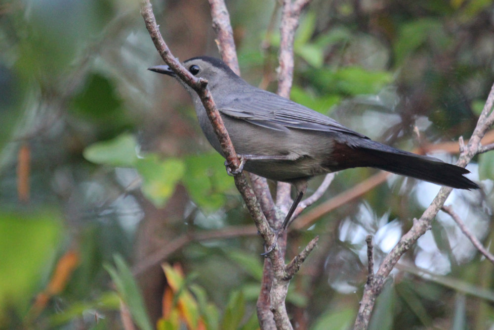 Gray Catbird / 7 Oct / Back Bay NWR