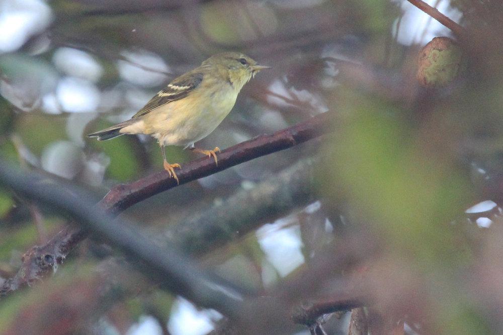 Blackpoll Warbler / 7 Oct / Back Bay NWR
