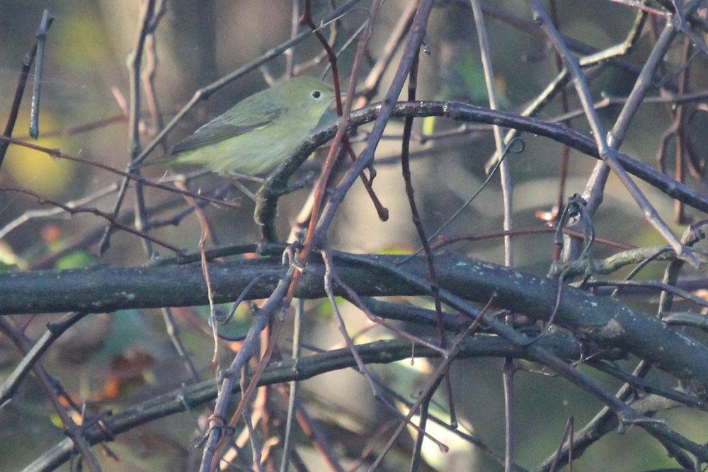 Yellow Warbler / 7 Oct / Back Bay NWR