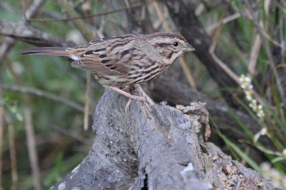 Song Sparrow / 7 Oct / Back Bay NWR