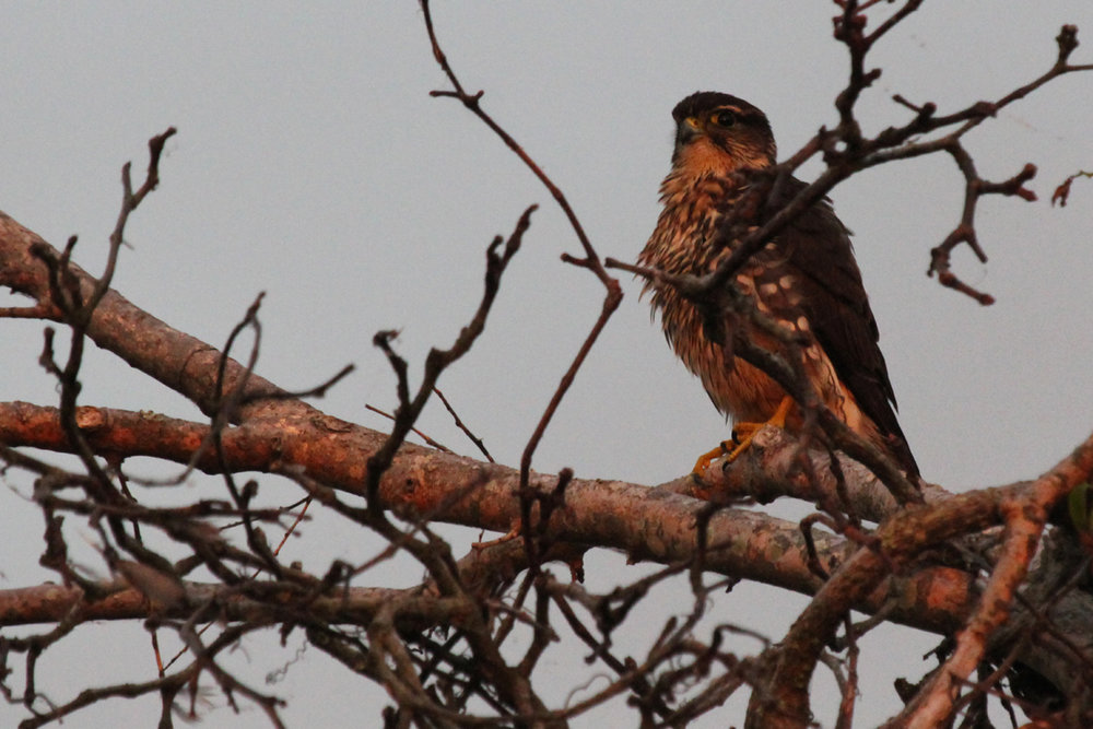 Merlin / 8 Oct / Back Bay NWR