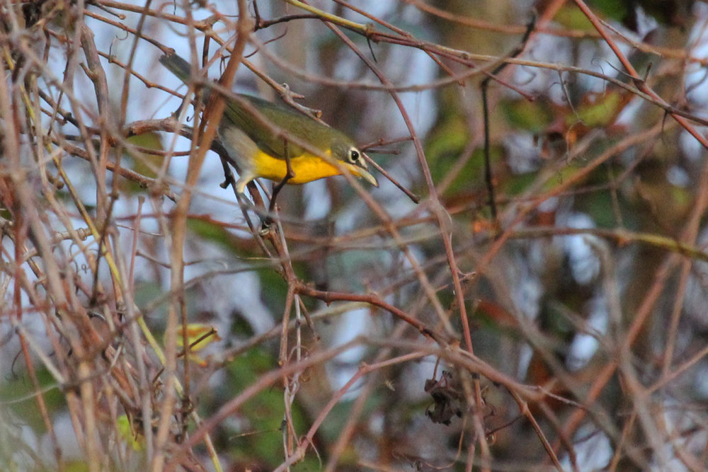 Yellow-breasted Chat / 8 Oct / Back Bay NWR