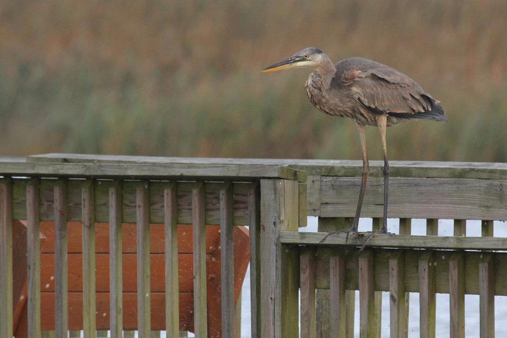 Great Blue Heron / 8 Oct / Back Bay NWR