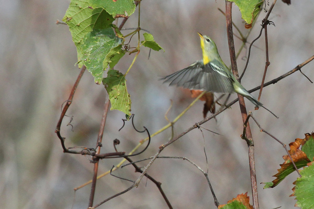 Northern Parula / 8 Oct / Back Bay NWR