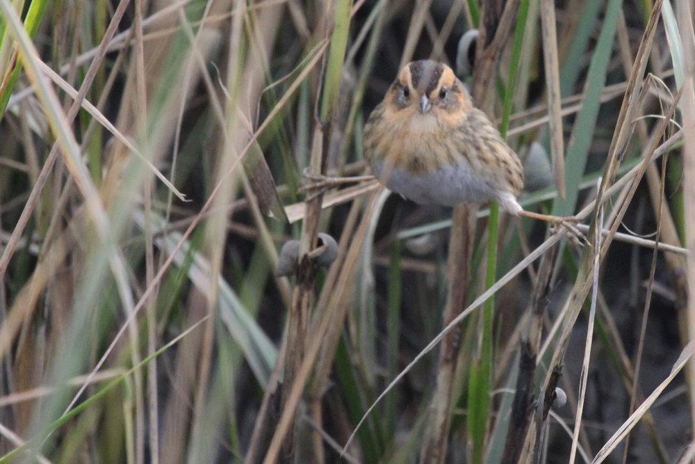 Nelson's Sparrow / 12 Nov / Pleasure House Point NA