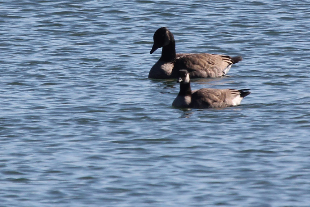 Canada Goose & Cackling Goose / 26 Nov / Sherwood Lakes