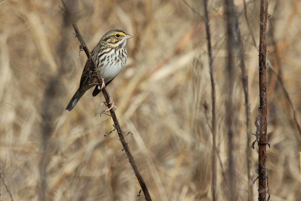 Savannah Sparrow / 2 Dec / Big Sky Farms (Private)