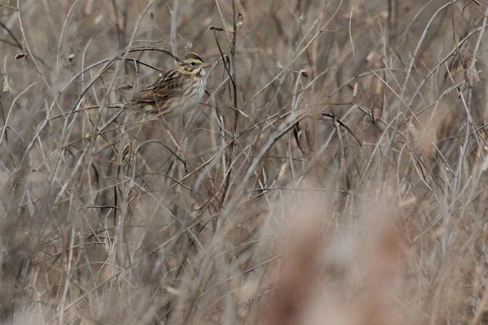 Savannah Sparrow / 3 Dec / Princess Anne WMA Beasley Tract