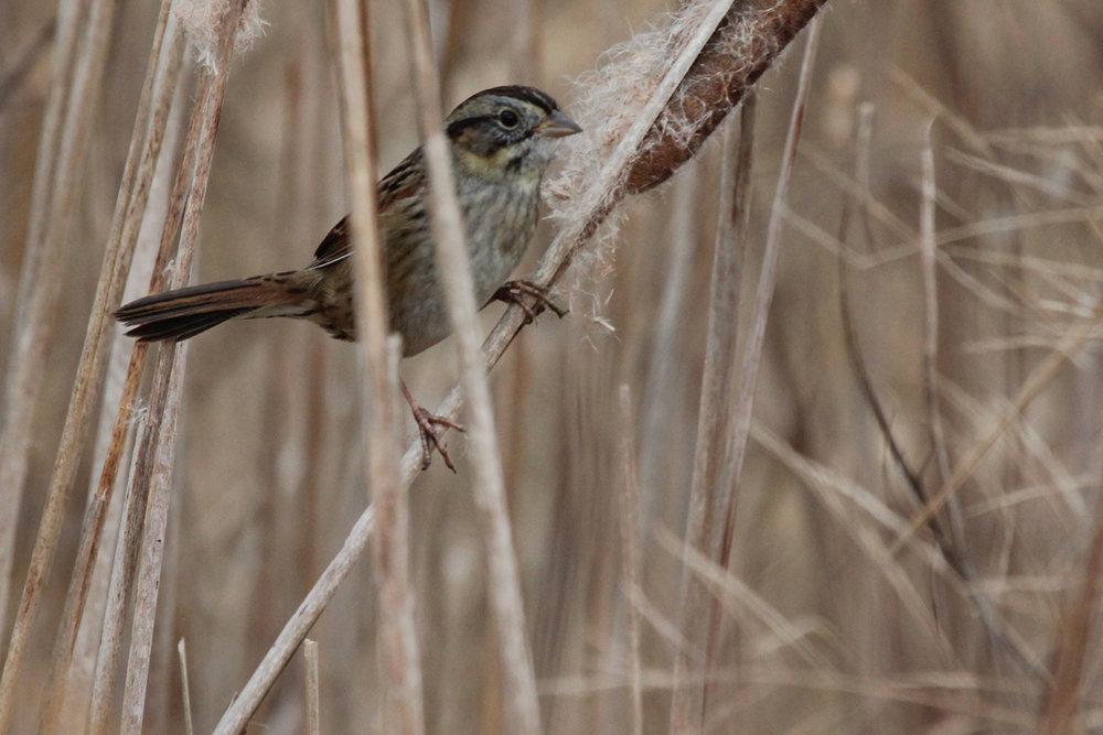 Swamp Sparrow / 3 Dec / Princess Anne WMA Beasley Tract