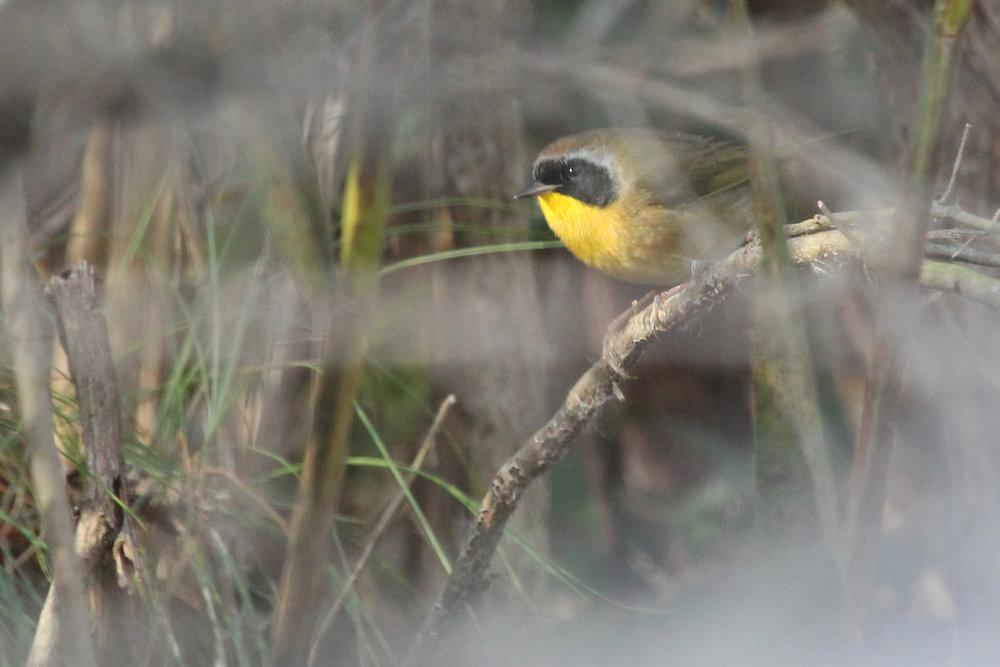 Common Yellowthroat / 3 Dec / Princess Anne WMA Beasley Tract