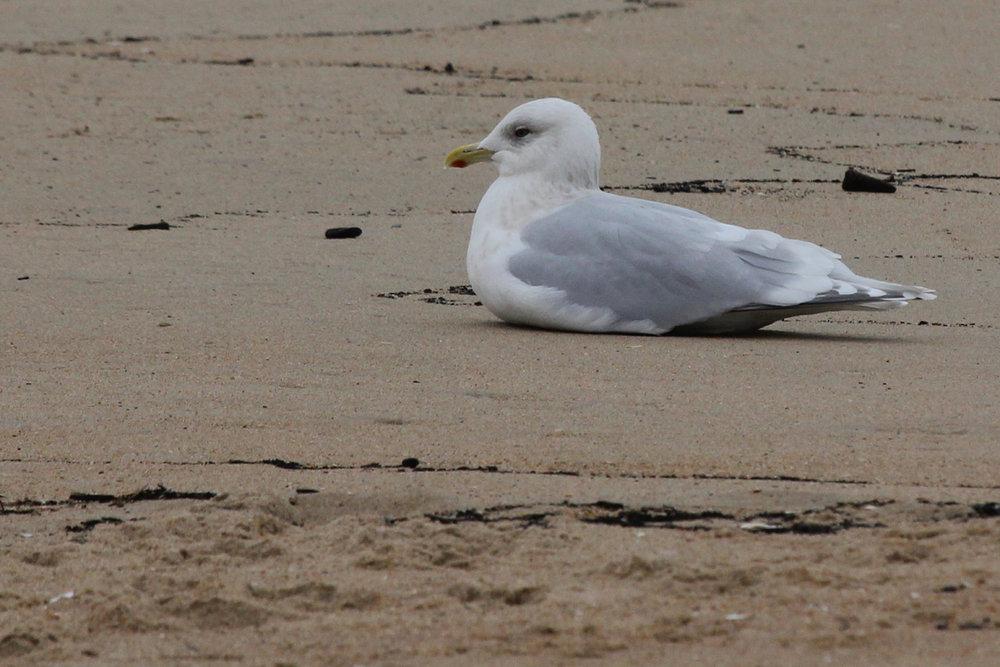 Iceland Gull (Kumlien's) / 20 Dec / 39th Street Beach