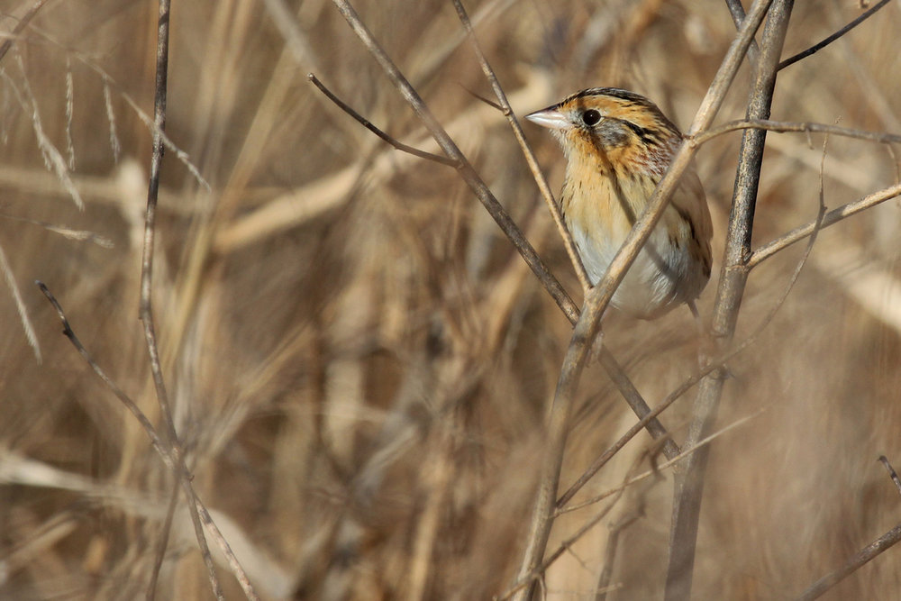 LeConte's Sparrow / 17 Dec / Princess Anne WMA Beasley Tract