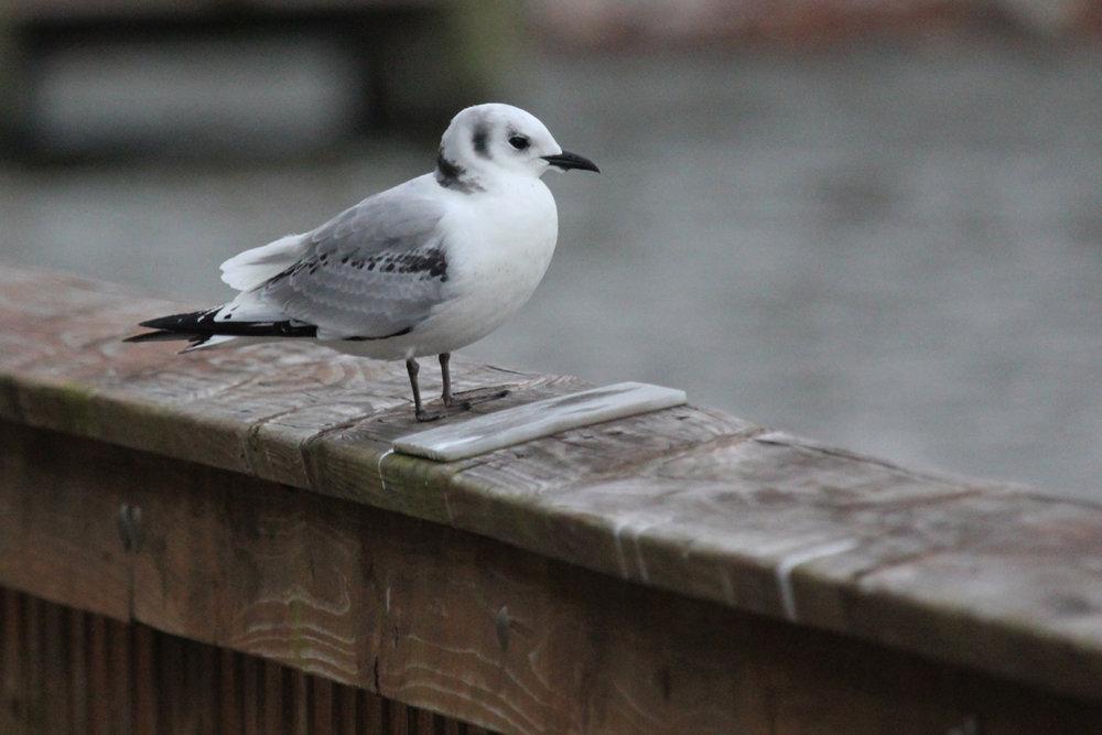 Black-legged Kittiwake / 15 Dec / Stumpy Lake Pier