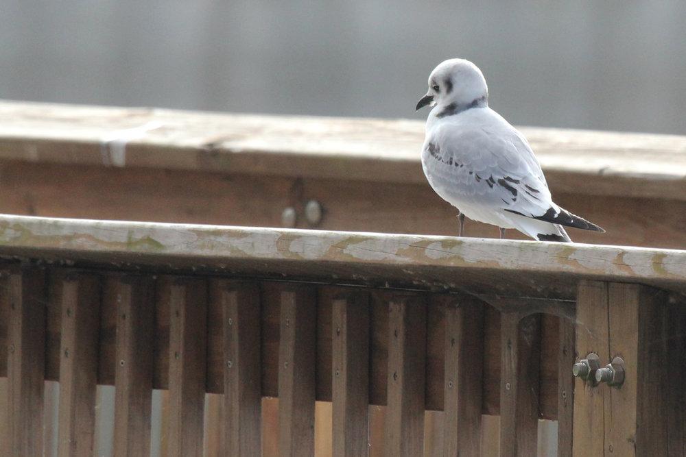 Black-legged Kittiwake / 17 Dec / Stumpy Lake Pier
