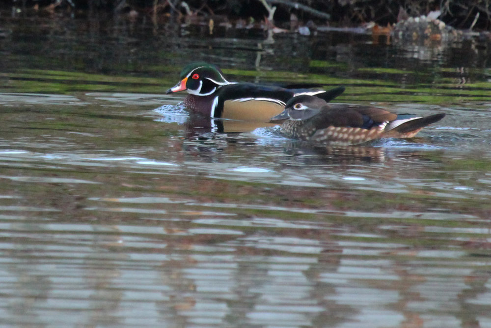 Wood Ducks / 11 Dec / Kings Grant Lakes